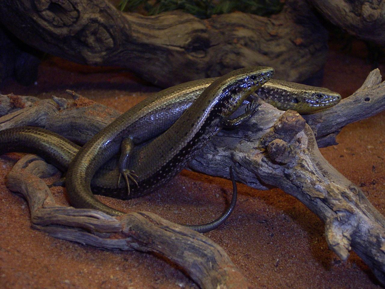 Chalcides s. bistriatus-1.JPG